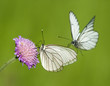 Black-veined White butterflies on a flower of scabious