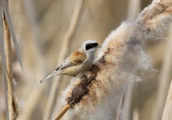 Eurasian Penduline Tit on reedmace