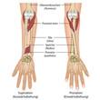 Pronation des Unterarms, Hintergrund deutsch