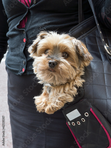 Dog in a handbag