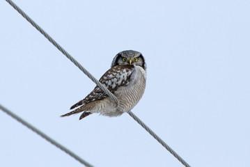 Hawk Owl on power line