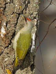Grey-headed Woodpecker on the birch
