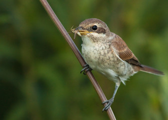 Young Red-backed Shrike with grasshopper