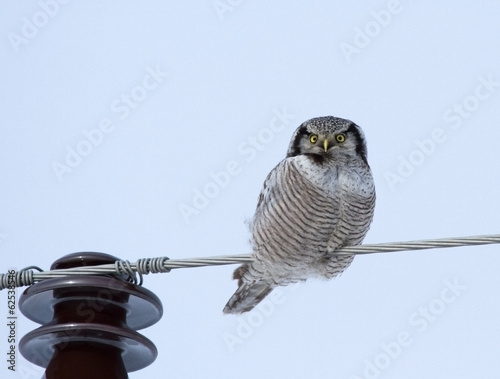 Deurstickers Uil Hawk Owl on power line