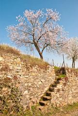 Frühling: Im Rheingau blüht der Weinbergpfirsich