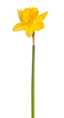 Daffodil flower on a white background