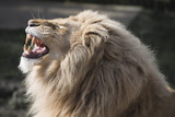 Lion baring teeth
