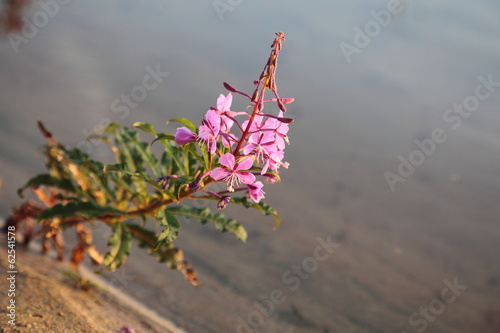 Rosebay Willowherb or Fireweed (Chamerion angustifolium)