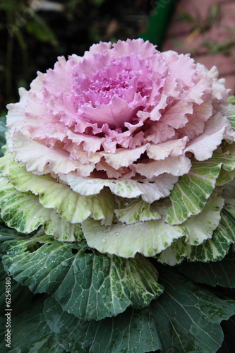 Pink decorative cabbage