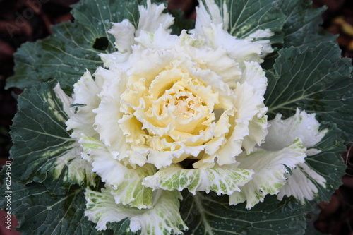 White decorative cabbage