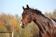 Bay horse portrait with bridle