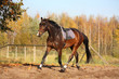 Beautiful bay horse trotting in autumn