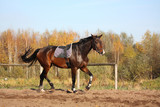 Beautiful bay horse trotting in autumn