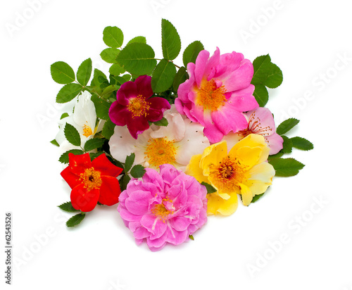 wild roses isolated on white background