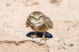 Serious Looking Burrowing Owl, California