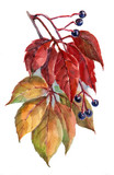 watercolor, leaves, red, grapes, autumn