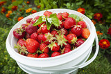 Pail of fresh strawberries in garden