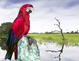 Red Macaw in Pantanal, Brazil