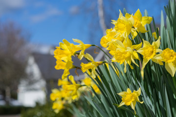 Daffodil Neighborhood