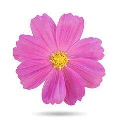 Pink cosmos flower Isolated.