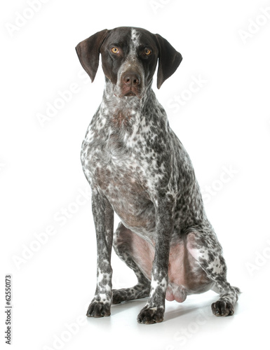 german shorthaired pointer male