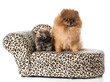 pomeranian adult and puppy