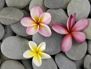 Colorful frangipani flowers on gray pebbles