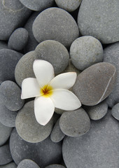 Single white frangipani flowers on gray pebbles texture