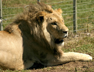 Male Lion In The Sun