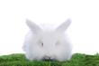 white dwarf rabbit