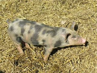 A mottled young pig on the straw in a stable