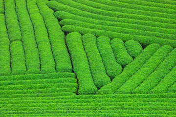Beautiful fresh green tea plantation