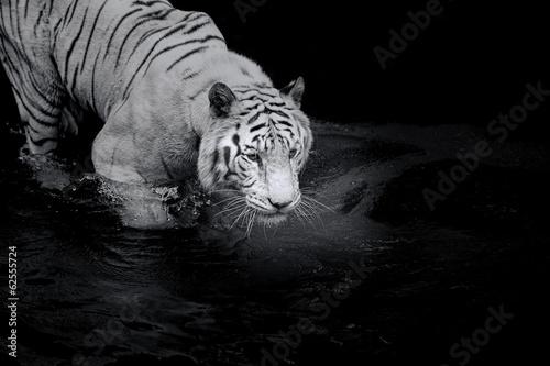 Papiers peints Tigre White Tiger