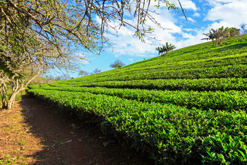 Beautiful fresh green tea plantation under blue sky