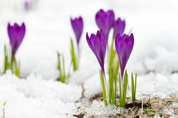 Violet spring crocuses