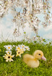 Blossom garden with easter duckling