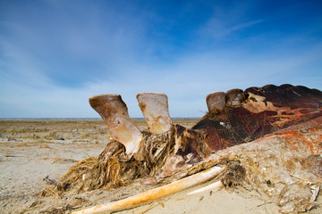 Cadaver of a Whale on a beach