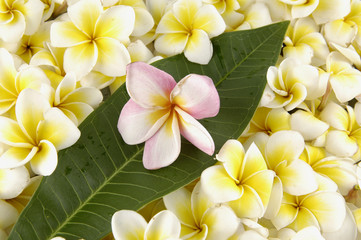 Spa and wellness image-leaf with many frangipani flowers
