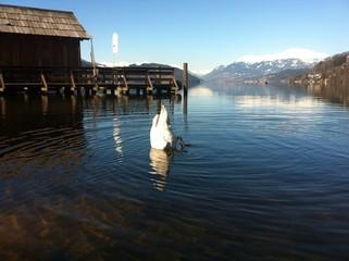 Schwan kopfüber im See