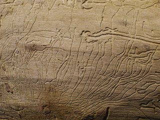 woodworm's traces