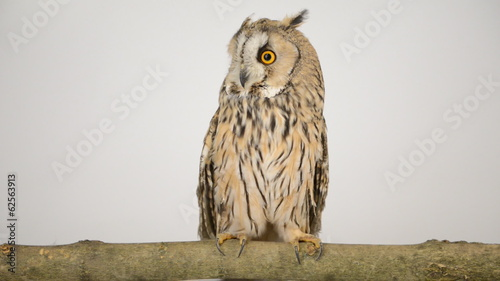 bird owl isolated on a white background