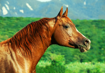 portrait of beautiful  sorrel  arabian horse at freedom