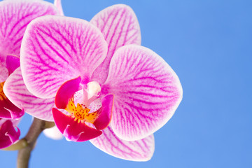 Phalaenopsis; moth orchid flower on blue background