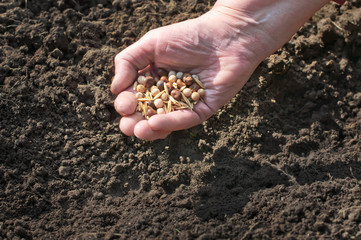 Spring sowing of seeds into the soil. Female hand with seeds on