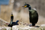 UK Farne Island Shag Pair