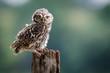 A UK wild LIttle Owl