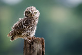 A UK wild LIttle Owl