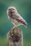UK Wild Little Owl