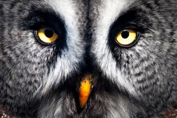Great Grey Owl close-up