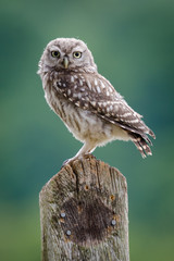 UK Wild Little Owl